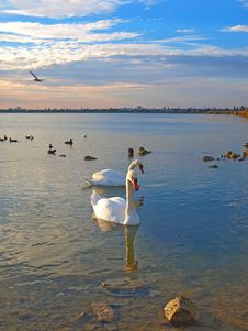 Two Swans And Sea-gulls In The Sunset Royalty Free Stock Photos