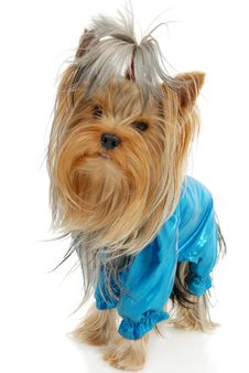 Free Yorkshire Terrier Stock Photos - 16713863
