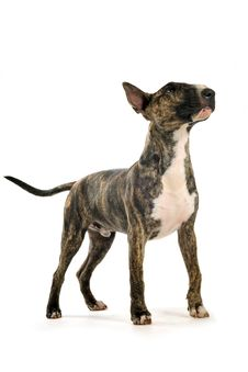 Free Bull Terrier Royalty Free Stock Photography - 16714457