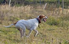Free German Shorthaired Pointer On Running Royalty Free Stock Image - 16715066