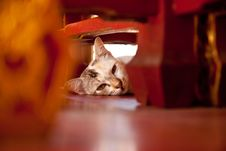 Free Sleepy Cat Stock Photography - 16717102