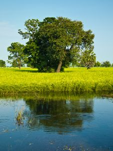 Paddy Rice In Flood Stock Images