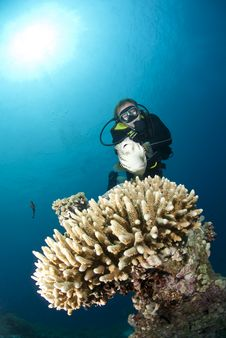Male Scuba Diver Observing A Pufferfish.