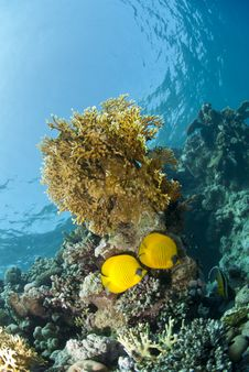 Free Masked Butterflyfish On A Tropical Coral Reef. Royalty Free Stock Photography - 16719117