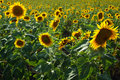 Free Sunflower Field Royalty Free Stock Photo - 16728315