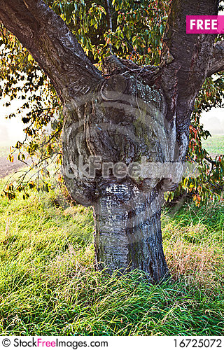 Free Stem Of An Old Big Tree Stock Photography - 16725072