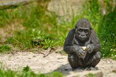 Free Cute Baby Gorilla Royalty Free Stock Photos - 16720448
