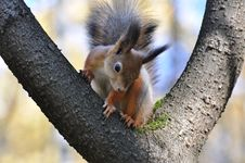 Free Red Squirrel. Royalty Free Stock Image - 16720596