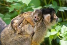 Free Cute Squirrel Monkey Royalty Free Stock Photo - 16720835