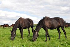 Free Purebred Horses Stock Photos - 16720873