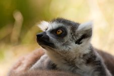 Free Ring-tailed Lemur Royalty Free Stock Photography - 16720887