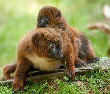 Free Cute Red-bellied Lemur With Baby Royalty Free Stock Image - 16720926