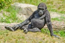Free Cute Baby Gorilla Stock Photo - 16720960