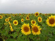 Free Sunflowers Royalty Free Stock Image - 16723396