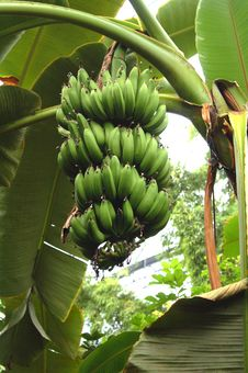 Free Organic Bananas Growing On Tree Royalty Free Stock Photos - 16723938
