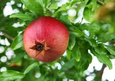 Ripe Pomegranate On The Branch. Stock Photography