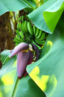 Banana Blossom Royalty Free Stock Photo