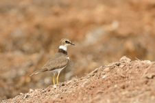 Free Golden Ringed Plover Stock Images - 16726434