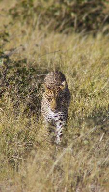 Leopard Stalking Stock Images