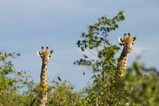 Free Pair Of Giraffes Stock Image - 16726831