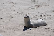Free Young Sea Mammal, Sealion Stock Photo - 16726920