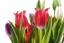 Free Tulips In Red White And Purple Royalty Free Stock Images - 16727189