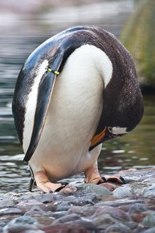 Free Gentoo Penguin Royalty Free Stock Photos - 16727418