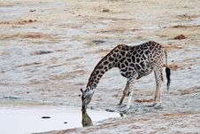 Free Reflection Of Giraffe Royalty Free Stock Photography - 16728067