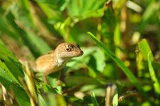 Free Lizard Royalty Free Stock Photography - 16728097