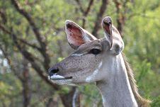 Free Impala Royalty Free Stock Image - 16729796