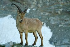 Free Mountain Goat Stock Image - 16729801
