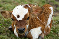 Free A Young Calf Stock Photo - 16731210