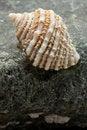 Free Intertidal Ocean Snail Shell On Rock Royalty Free Stock Photo - 16738405
