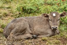 Free A Young Calf Royalty Free Stock Photography - 16731117
