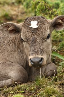 Free A Young Calf Stock Image - 16731171