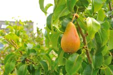 Free Sweet Organic Pear Stock Photo - 16733250