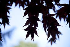 Free Acer Leaves Silhouette Stock Photography - 16736922