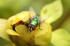 Free Green Bottle Fly (Lucilia Sericata) Stock Images - 16738274