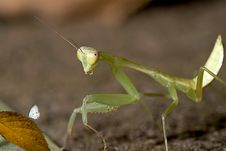 Free Closeup Mantis Try To Capture Butterfly Royalty Free Stock Image - 16738306