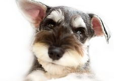 Free Miniature Schnauzer Royalty Free Stock Images - 16738309