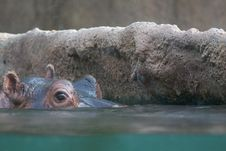 Free Hippo Entering Water Royalty Free Stock Photo - 16738735