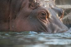 Free Hippo In Water Royalty Free Stock Image - 16738736