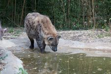 Free Hyena Reflection Stock Images - 16738744
