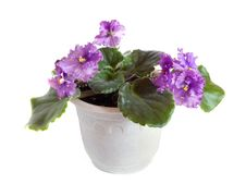 Free Fresh Violets In Pot Stock Photo - 16738850