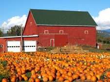 Free Pumpkins In A Field. Royalty Free Stock Photos - 16739368