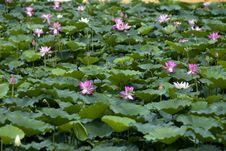 Free Lotus Pool Stock Images - 16739964