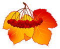 Free Wild-ash And Autumnal Leaves Royalty Free Stock Image - 16740676