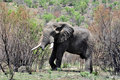 Free African Elephant. Royalty Free Stock Images - 16742029