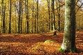 Free Autumn S Beech Forest Stock Photo - 16743270