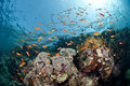 Free Colourful Tropical Coral Reef Scene. Royalty Free Stock Images - 16749919